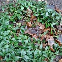Барвинок и дубовые листья :: Нина Корешкова