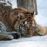Молодой амурский тигр :: Владимир Шадрин