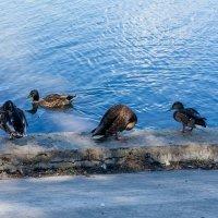 утки в городском парке :: герасим свистоплясов