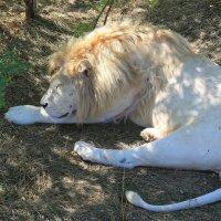 белый лев :: ninell nikitina