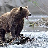Медведи Камчатки. :: Елена Савчук