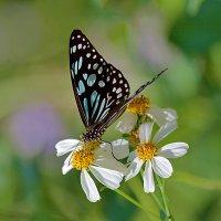 Бабочки парков Гонконга :: Анатолий Иргл