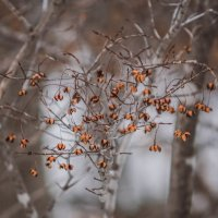 Зимний куст бересклета :: Эдуард Куклин