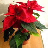Пуансеттия - Молочай красивейший - Euphorbia pulcherrima :: super-krokus.tur ( Наталья )