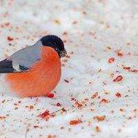 И на снегу всё подберём... :: Анатолий Иргл