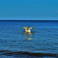 Белый лебедь на Финском заливе... :: Sergey Gordoff
