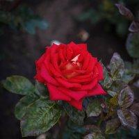 « Вот роза, всех цветов царица, Блестит румянца красотой,…» :: Андрей Нибылица