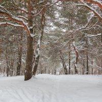 Сосны в снегу :: Александр Синдерёв