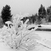 Снежный куст на берегу.. :: Галина Полина