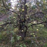 Старая яблоня :: Наталья