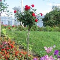 Штамбовая роза :: Вера Щукина