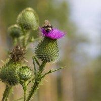 Шмель на цветке Чертополоха :: Дима Пискунов