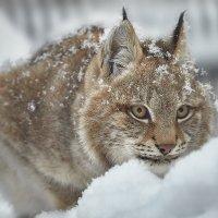 Степная рысь. :: Виктор Шпаков