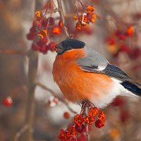 Красногрудый красавец :: Анатолий Иргл