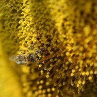 Пчела на подсолнухе :: Владимир Сырых