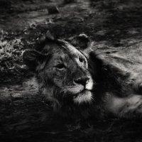 Тяжела ли жизнь в саванне???...Танзания! :: Александр Вивчарик
