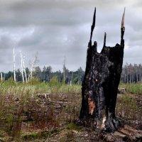Лес после пожара-2 :: Павел Попов