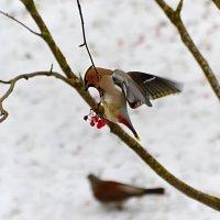 свиристель :: linnud