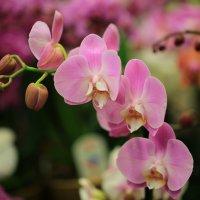 Цвет орхидеи :: ninell nikitina