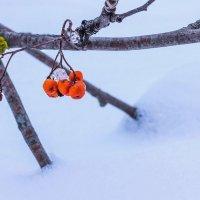 Зимняя ягода.. :: Юрий Стародубцев