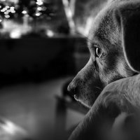 Однажды в  Новый год собаки.) :: Лилия .