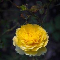 «…Ну а желтые розы надежды Красотой наполняют наш дом. » :: Андрей Нибылица