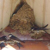 Ласточки строят гнезда :: Татьяна Сапрыкина
