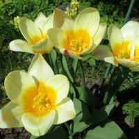Весенние цветы. :: Валентина Жукова