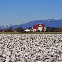 Снежные гуси на острове Фир, в дельте реки Скагит :: Michael Averkiev