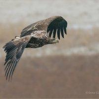 Орлан-белохвост :: Анна Солисия Голубева