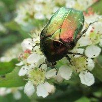 Играя радужной окраской, нектару радуется жук! :: Александр Куканов (Лотошинский)