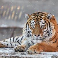 Амурский тигр :: олег