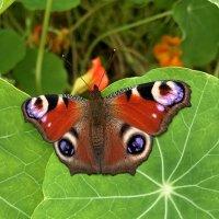 Бабочка :: Liudmila Antonova
