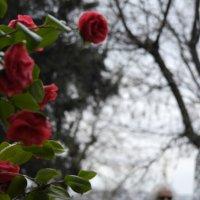 Розы :: saslanbek isaev