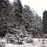 Лес в январе. :: Михаил Столяров