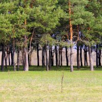 Сосновый лес. :: Валентина ツ ღ✿ღ