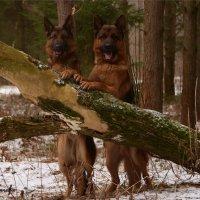 Собаки на отдыхе.... :: Светлана Горячева