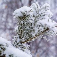 Сосна и снег :: Гульнара Шафиева