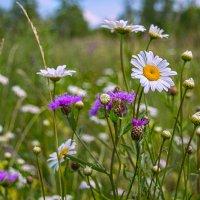 Полевые цветы. :: Елена Струкова