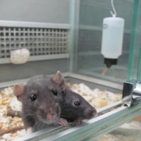 крысята :: Зинаида