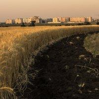 пшеница :: олег