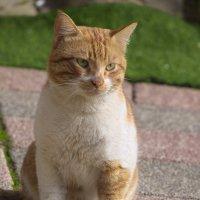 Котик рыжий :: Александр Деревяшкин