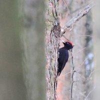 Большой черный дятел желна :: ninell nikitina