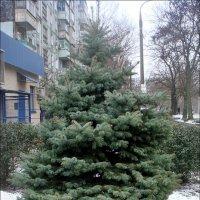 Потеряла ёлочка снежное одеяло... :: Нина Корешкова