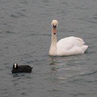 Лебедь и лысуха :: Александр Рыжов