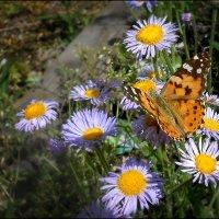 Лето, бабочки, цветочки :: Василиса Никитина