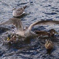 Чайки с утками :: Tatyana Nemchinova