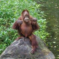 Молодой орангутанг, Сингапурский зоопарк. :: Edward J.Berelet