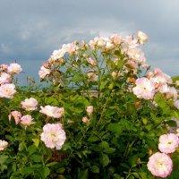 Розы. :: Лия ☼
