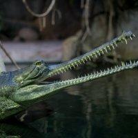 Крокодил :: Дмитрий Звонарев